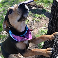 Adopt A Pet :: S'More - Burleson, TX