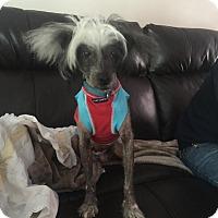 Adopt A Pet :: Bailey (NH) - Gilford, NH