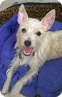 Chihuahua/Wirehaired Fox Terrier Mix Dog for adoption in Richardson, Texas - Sabrina