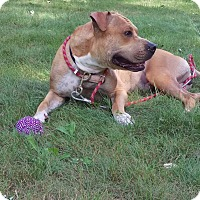 Pit Bull Terrier/Mastiff Mix Dog for adoption in Groton, Connecticut - Korie