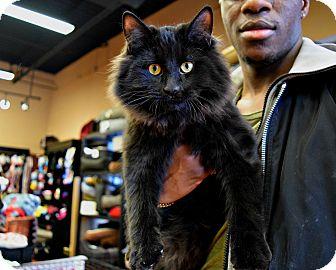 Domestic Mediumhair Kitten for adoption in Toronto/GTA, Ontario - BEAR