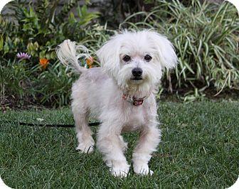 Maltese Mix Dog for adoption in Newport Beach, California - DAVID