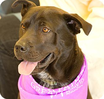 Shar Pei/Shepherd (Unknown Type) Mix Dog for adoption in Scottsdale, Arizona - Buddy (Courtesy Listing)