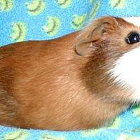 Adopt A Pet :: Wrigley - Steger, IL