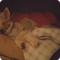 Adopt A Pet :: Jordie- Tiny and Toothless - Oak Ridge, NJ