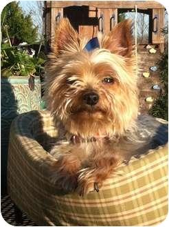 Yorkie, Yorkshire Terrier Dog for adoption in Huntsville, Alabama - Chloe