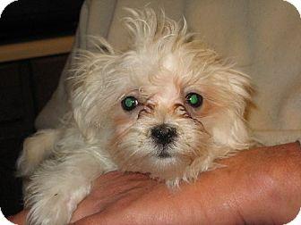 Maltese Puppy for adoption in Greenville, Rhode Island - Hermione Granger
