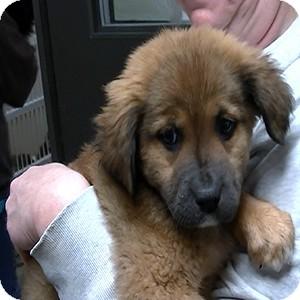 German Shepherd Dog/Golden Retriever Mix Puppy for adoption in Greencastle, North Carolina - Sabrina