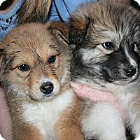 Adopt A Pet :: Sheeba - Westfield, IN