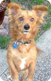 Pomeranian Mix Dog for adoption in Dallas, Texas - Opie