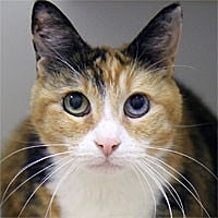 Domestic Shorthair Cat for adoption in Pacific Grove, California - Patches