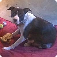 Adopt A Pet :: Zelda - Boston, MA