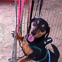 Dachshund Mix Dog for adoption in Pearland, Texas - Rockey