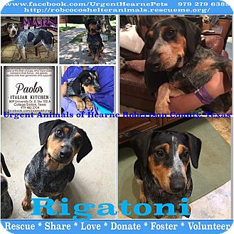 Beagle Mix Puppy for adoption in Hearne, Texas - Rigatoni