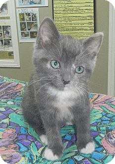 American Shorthair Kitten for adoption in Creston, British Columbia - Kaisey