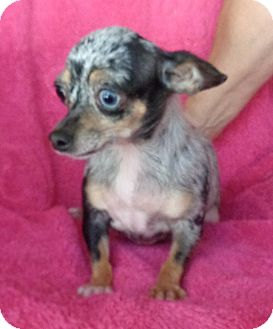 Chihuahua Dog for adoption in Crump, Tennessee - Jewel