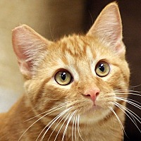 Domestic Shorthair Cat for adoption in San Diego, California - Twinkie