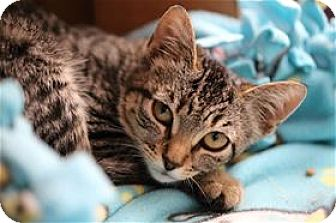 Domestic Shorthair Kitten for adoption in Lincoln, California - Mesa