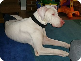 Great Dane Dog for adoption in York, Pennsylvania - Theo