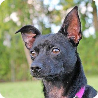 Chihuahua Mix Dog for adoption in Houston, Texas - Mona