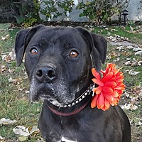 American Staffordshire Terrier/Labrador Retriever Mix Dog for adoption in Canoga Park, California - Otis *The Black Beauty*
