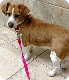 Beagle/Basset Hound Mix Dog for adoption in Barrington, Illinois - Gypsy