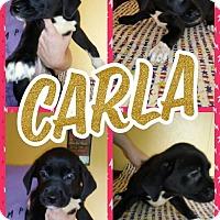 Adopt A Pet :: Carla - Shaw AFB, SC