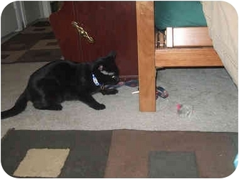 Domestic Shorthair Cat for adoption in Quincy, Massachusetts - Fisher