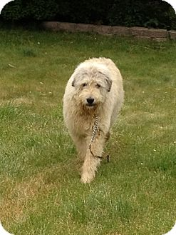 Old English Sheepdog/Great Pyrenees Mix Puppy for adoption in Ogden, Utah - Wolf