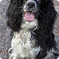 Adopt A Pet :: Apollo - Tinton Falls, NJ