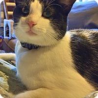 Adopt A Pet :: Oreo Pie - McDonough, GA