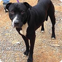 Labrador Retriever Mix Dog for adoption in Manchester, New Hampshire - Snip
