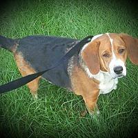 Beagle Mix Dog for adoption in Salisbury, North Carolina - Randall
