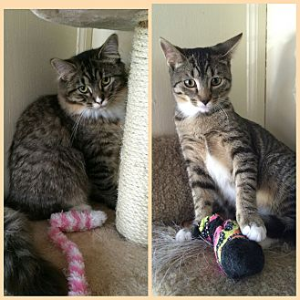 Domestic Longhair Cat for adoption in Staten Island, New York - Maya and Melina