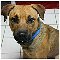 Adopt A Pet :: Munchkin - Forked River, NJ