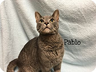 Domestic Shorthair Cat for adoption in Foothill Ranch, California - Pablo