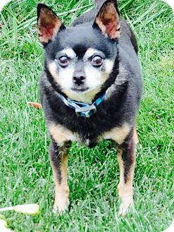 Chihuahua Mix Dog for adoption in Columbia Heights, Minnesota - Moose