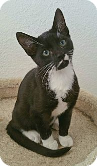 Domestic Shorthair Kitten for adoption in Los Angeles, California - Seymore