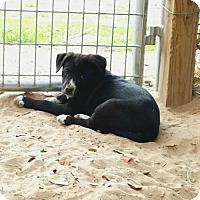Labrador Retriever/Pointer Mix Puppy for adoption in Roanoke, Virginia - Price