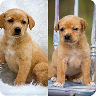 Labrador Retriever/Golden Retriever Mix Puppy for adoption in Branchburg, New Jersey - Lucy 💟 DOB 1/14/17!