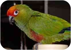 Conure for adoption in Salt Lake City, Utah - Delilah