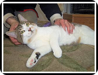Domestic Shorthair Cat for adoption in Medford, Wisconsin - BOOSTER