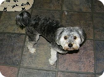Maltese/Poodle (Miniature) Mix Dog for adoption in South Amboy, New Jersey - Candy