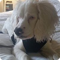 Adopt A Pet :: Caleb - Madison, WI