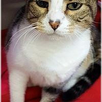 Domestic Shorthair Cat for adoption in Huntington, New York - Stanley