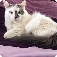 Domestic Mediumhair Cat for adoption in Cheltenham, Pennsylvania - Sedona