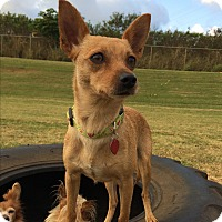 Chihuahua Mix Dog for adoption in Waipahu, Hawaii - Momma Chihuahua