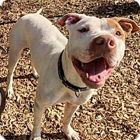 American Pit Bull Terrier/German Shorthaired Pointer Mix Dog for adoption in Eugene, Oregon - Penny
