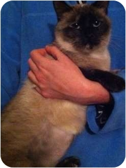 Siamese Cat for adoption in Simpsonville, South Carolina - Sherri