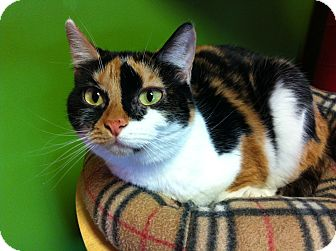 Domestic Shorthair Cat for adoption in Topeka, Kansas - Lucy